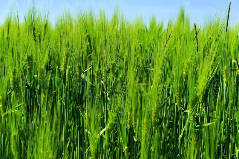 gerstengras gesunde ernährung abnehmen basische ernährung vegane rezepte ernährungsberatung